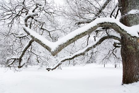 Branch of big tree covered with snow Stock Photo - 6234131