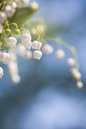 Bunch of beautiful lily of the valley Stock Photo - 7053497