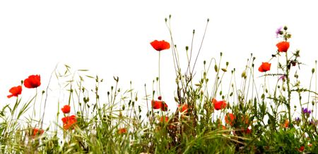 Field of red poppies, isolated on white background photo