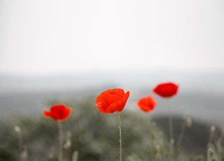 Field of red poppies, very shallow focus photo
