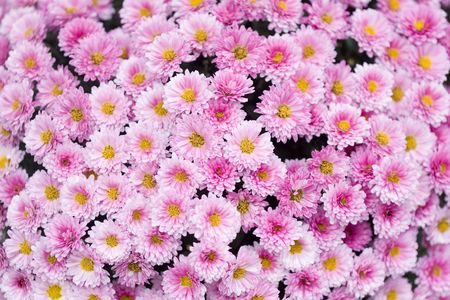 Close up of beautiful pink flower background Stock Photo - 7835489