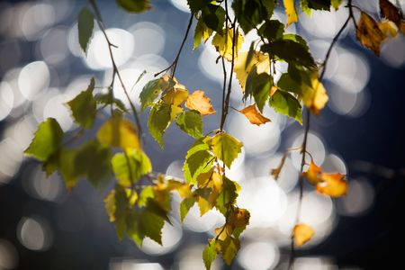 Branches of birch in beautiful autumn colors photo