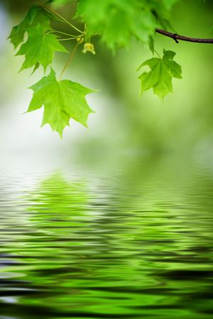 Green maple tree leaves, shallow focus