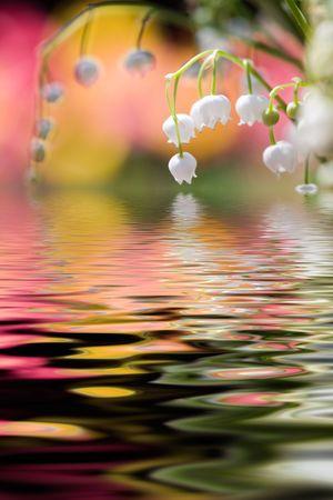lirio blanco: Lirio de los valles con la reflexi�n de agua