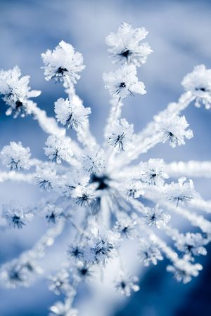 Flower in winter with frozen ice crystals