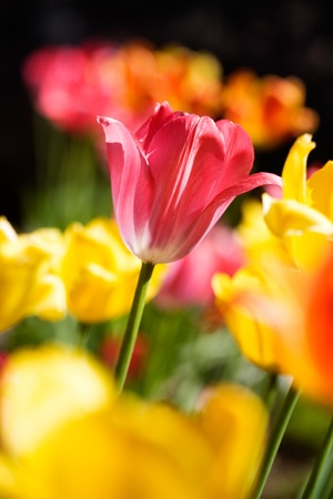 Colorful tulips in bright sunlight with shallow focus photo