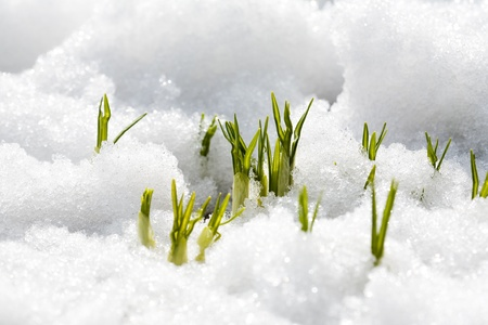 First flowers of spring growing throug snow Stock Photo - 8679324