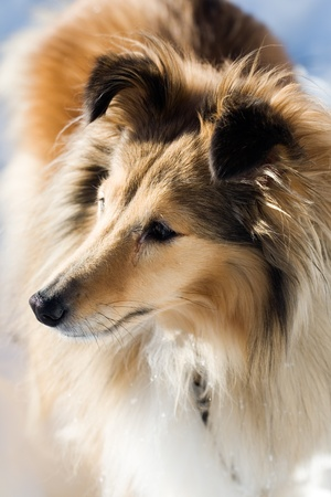 Sheltie looking at something outdoors in winter Stock fotó