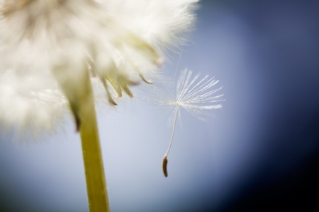 Close up of dandelion, very selective focus photo