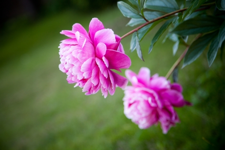 tree peony: Beautiful pink peony blooming in garden, selective focus