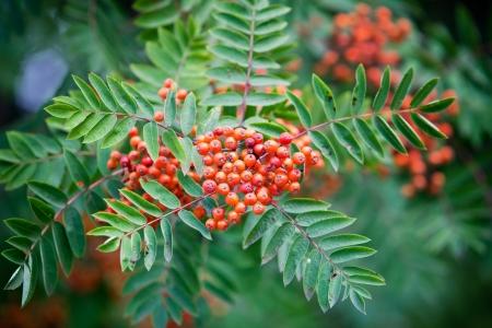 sorbus: Sorbus in autumn, selective focus on berries
