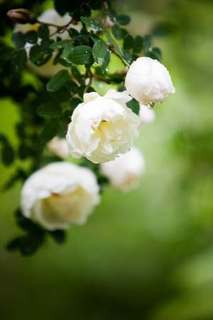 ornamental bush: Close up of white wild roses after rain Stock Photo