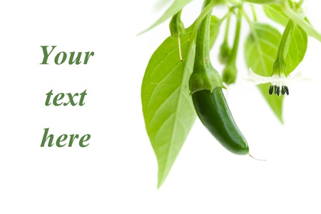 pepper plant: close up of green serrano chilies growing