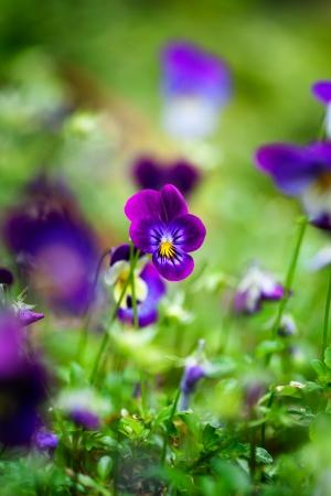 violas: Bunch of purple violas growing in the garden