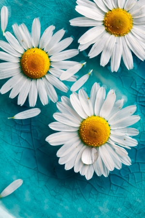 Beautiful daisies floating in bright turquoise water photo