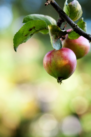 Close up of apple tree with red apples Stock Photo - 14960870