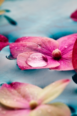 Closeup of pink hortensia flowers floating in water Stock Photo