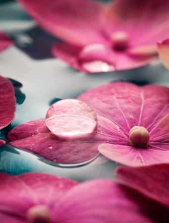 floating on water: Closeup of pink hortensia flowers floating in water Stock Photo