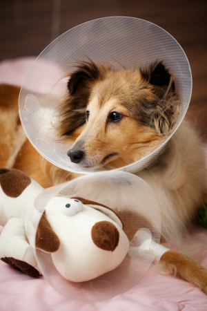 recovering: Sheltie recovering from surgery with her toy