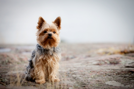 Young yorkshire terrier having good time outdoors