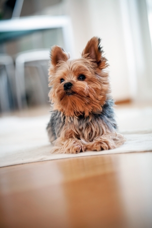 Yorkshire terrier Stock Photo - 17636660