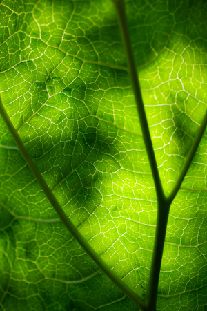 Close up of green rhubarb leaf against sun photo