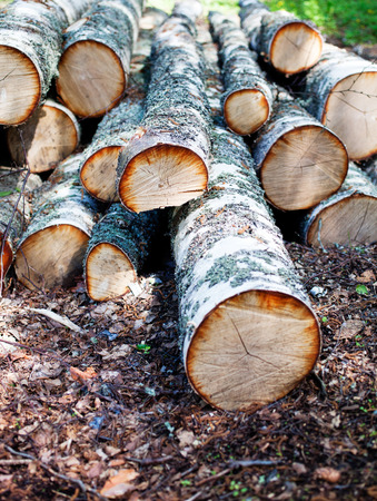 sawed: Branches of birch tree in piles