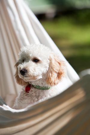 miniature poodle: Miniature poodle having fun outdoors Stock Photo