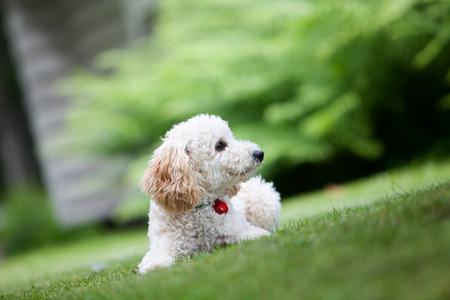 miniature breed: Caniche miniatura divertirse al aire libre Foto de archivo