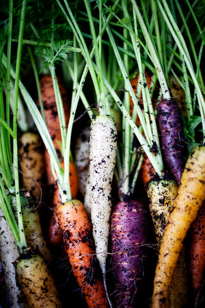 Fresh rainbow carrots picked from the garden Stock Photo