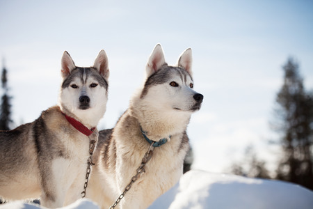 lapland: Huskies spending time outdoors in Lapland Finland Stock Photo