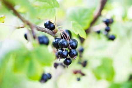 blackcurrant: Blackcurrant growing in home garden Stock Photo