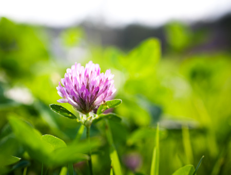 red clover: Close up of red clover