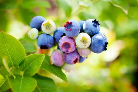 arándanos crecen en jardín