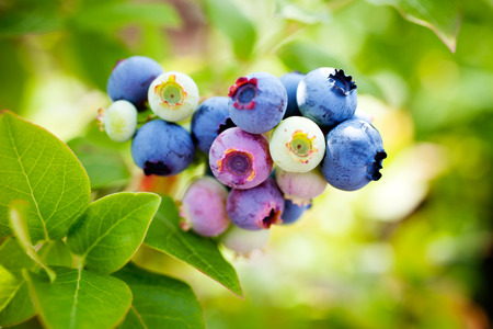 Bleuets en croissance dans la maison jardin Banque d'images - 61406909