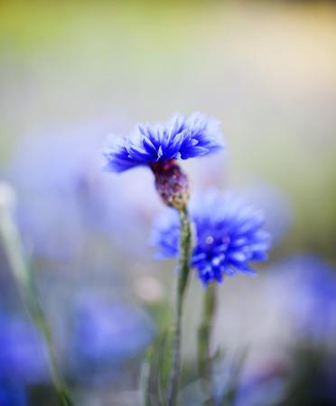 Close up of blue cornflower