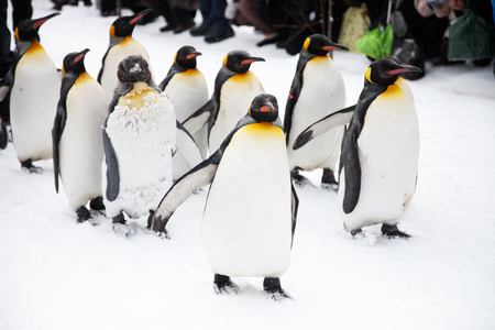 Penguins on the walk in zoo in Japan Stock Photo