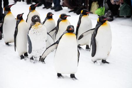 Pinguïns op de wandeling in de dierentuin in Japan Stockfoto - 71327453