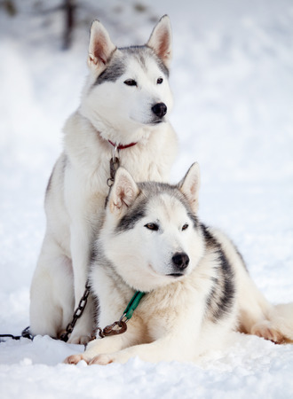 Huskies resting outdoors before sled ride