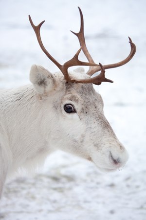 Reindeer outside in reindeer park Stock Photo