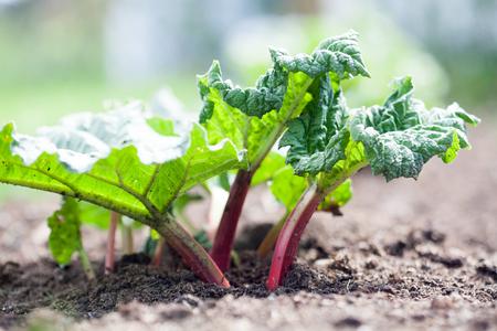 Groeiende rabarber in eigen tuin