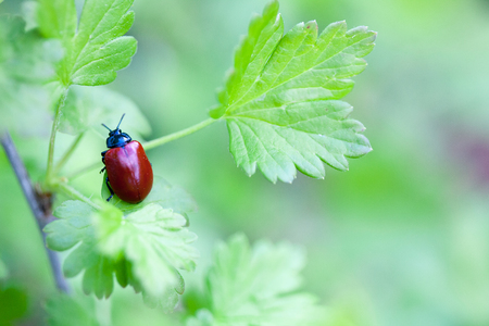Crysomela populi bug on green leaf Stock Photo