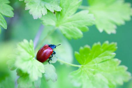녹색 잎에 Crysomela populi 버그
