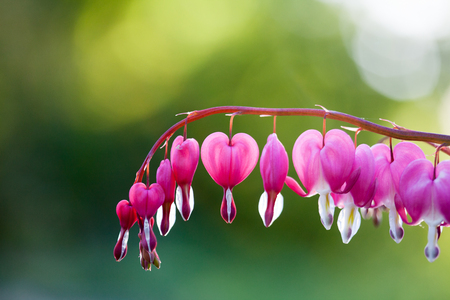 Pink bleeding heart flower hanging Reklamní fotografie