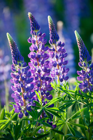 Wildflower lupine blooming in spring Stok Fotoğraf