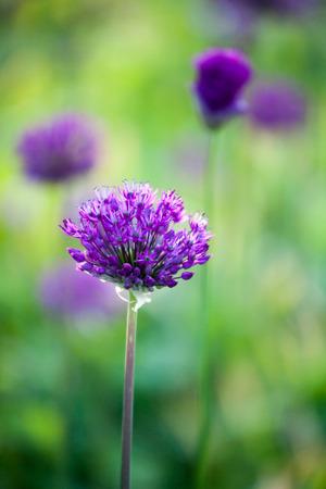 Purple allium flower blooming in spring