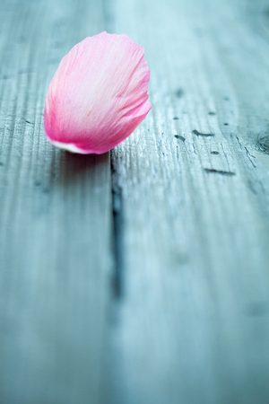 fragility: Pink peony petals on wooden table