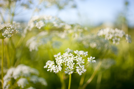 Anthriscus sylvestris, also known as cow parsley Banco de Imagens - 81265006