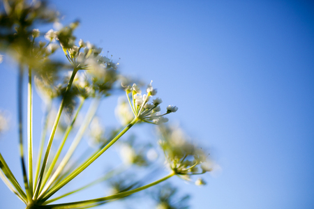 Anthriscus sylvestris, also known as cow parsley Banco de Imagens - 81219414
