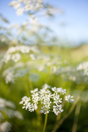 Anthriscus sylvestris, also known as cow parsley Banco de Imagens - 81265003